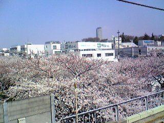 目黒川の上からの桜